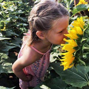 PA Sunflower Festival (Maple Lawn Farms, PA)